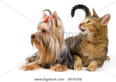 Terrier And Cat In Studio