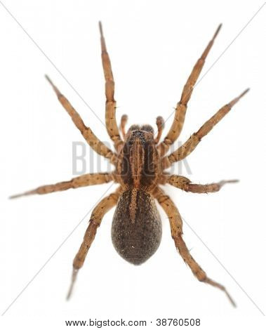 Live spider isolated on white background with slight shadow, macro