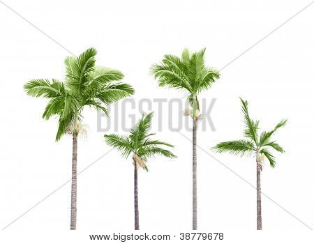 Plam trees isolated on white background