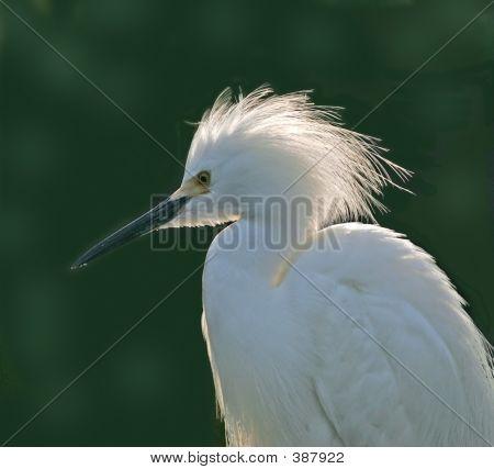 White Egret Portrait