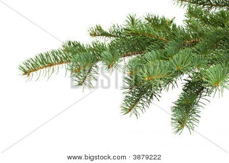 Rama de árbol de abeto
