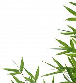 pic of bamboo leaves  - High resolution image of wet bamboo - JPG