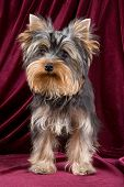 picture of yorkshire terrier  - Puppy Of The Terrier in studio in color - JPG