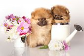 stock photo of pomeranian  - Two German  - JPG