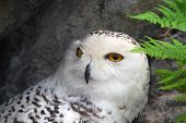 stock photo of hedwig  - Close - JPG