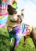 image of spayed  - a cute boston terrier puppy in a tie dye shirt - JPG