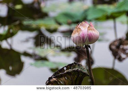 Pink Lotus In Swamp Of Nature
