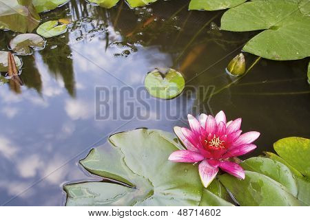 Pink Waterlily Flower Blooming In Koi Pond