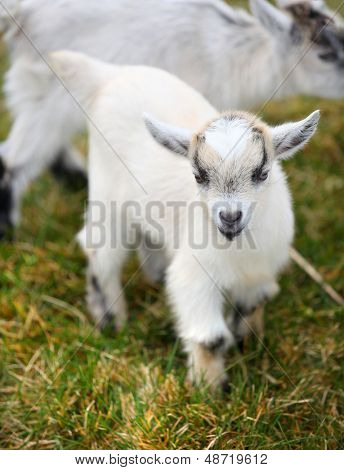 portrait of a small baby goat