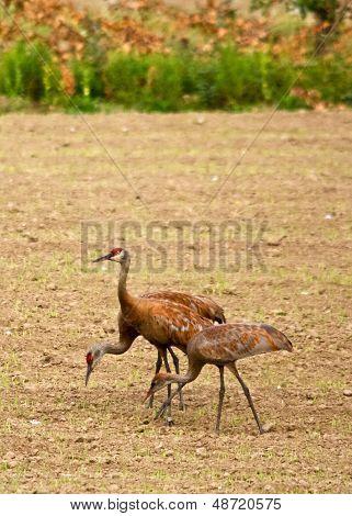Trio of Cranes in Field