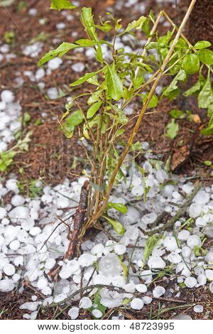 Plant Was Destroyed By The Great Hail