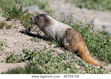 Hoary Marmot Eating Plants
