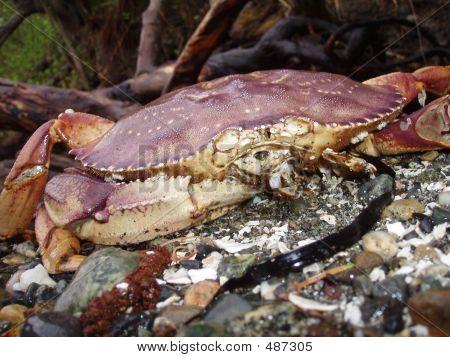 Crab/deceased