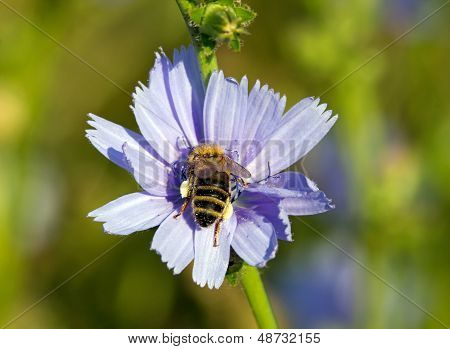 Bee gathering nectar in the heart of a flower, insect and flower in a garden in France