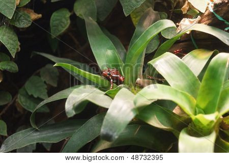 Phantasmal Poison Dart Frog - Epipedobates Tricolor