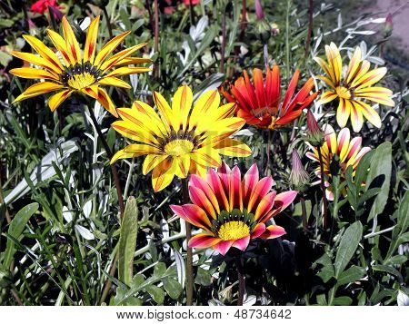 Colorful Gazania.