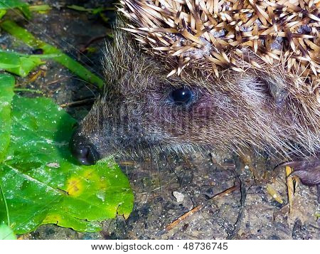 face hedgehog close-up