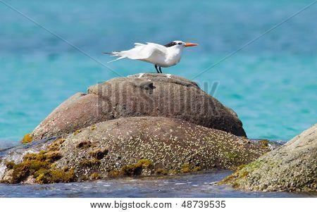 Royal Tern (thalasseus Maximus Maximus)