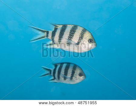 Scissortail Sergeant Fish Swimming In Blue Water