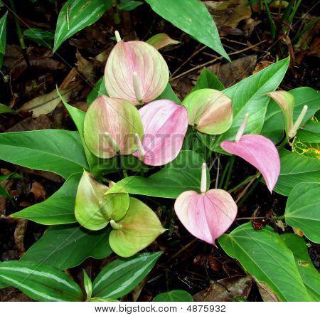 Anthurium Plants Flowers Tropical