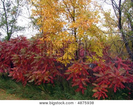 Fall Colors Golden Red Leaves