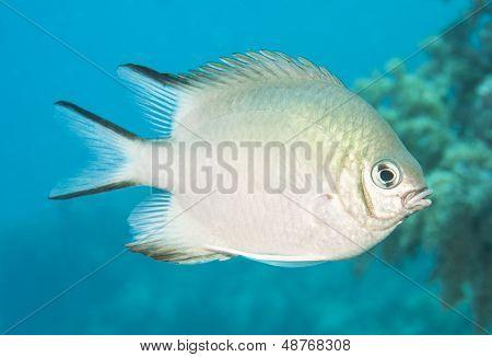 Pale Damselfish Swimming In Blue Water