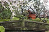 Cherry Blossom In Japanese Garden