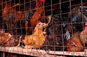 image of avian flu  - A chicken looks scarily at the camera while caged with other chickens in a dirty and crowded cage - JPG