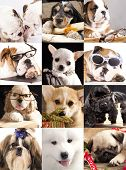 stock photo of corgi  - dog portraits closeup - JPG