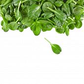 picture of rocket salad  - border of fresh green leaves spinach or pak choi isolated on a white background - JPG