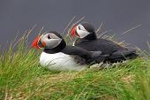 stock photo of grass bird  - Twa Birds Puffin in green grass on coast - JPG