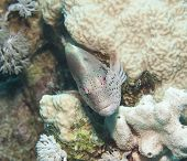 foto of hawkfish  - Freckled hawkfish paracirrhites forsteri resting underwater on a tropical coral reef - JPG