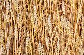 Постер, плакат: Спелые Пшеница обыкновенная пшеницы Triticum aestivum Органические фон
