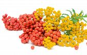 stock photo of tansy  - Tansy  - JPG