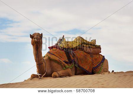 Camel On Sand Dune