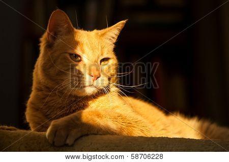 Majestic Ginger Cat In Sunlight