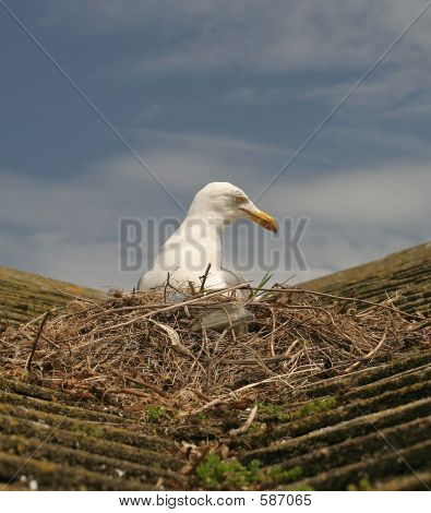 Seagull On Roof Nesting