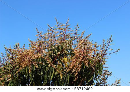 mango flowers indicating onset of spring