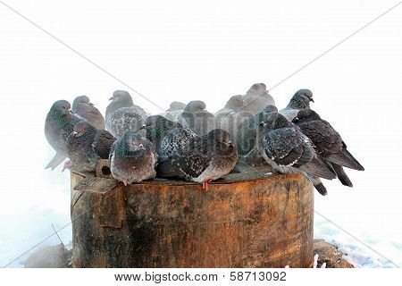Cluster Of Dove