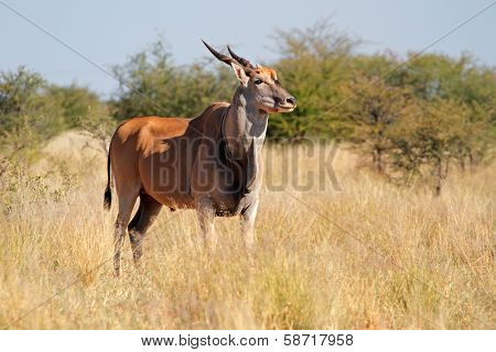 Eland antelope (Tragelaphus oryx) in natural habitat, South Africa