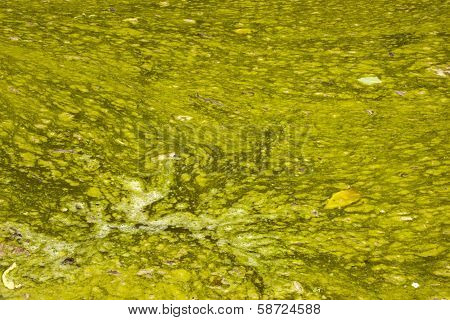 Unsanitary Surface Of Green Stagnant Algae Infested Water