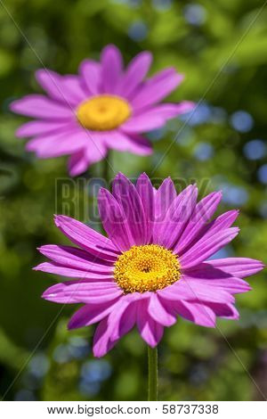 Pink painted daisies (Tanacetum coccineum) in the summer garden