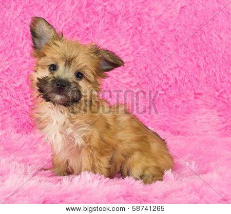Adorable Yorki-poo Puppy