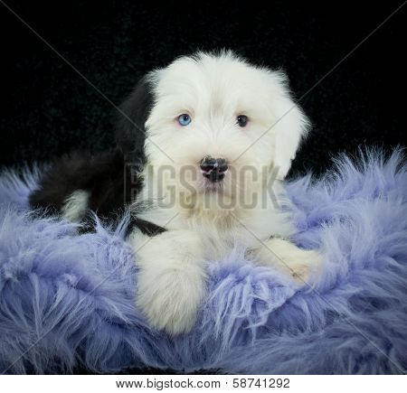 Sweet Sheepdog Puppy