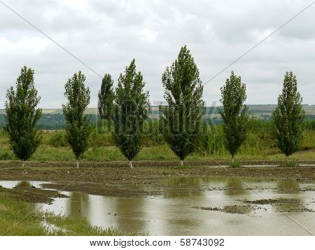 rural landscape with poplar windbreak fragment after rain