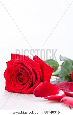 Beautiful Red Rose On White Bachground