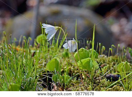 Flowers Of Oxalis