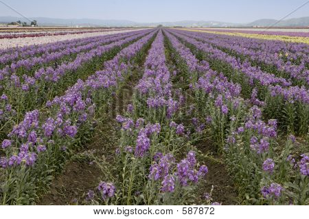 Fileds Of Purple Flowers