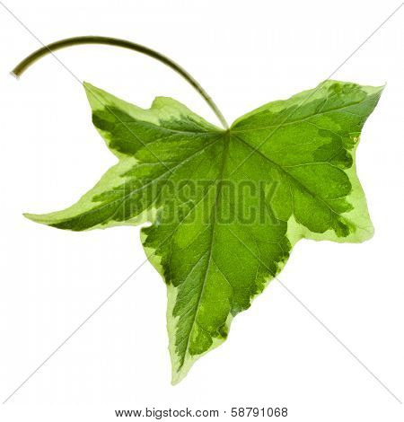 One Green leaf ivy leaf close up macro isolated on white background