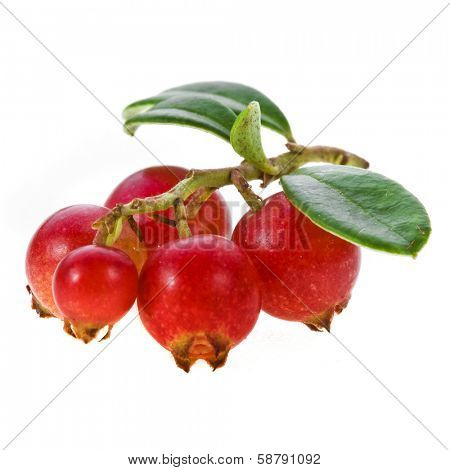Cowberry cranberry close up isolated on white background